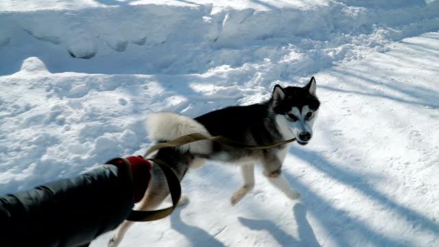 beautiful girl playing with dog - malamute video stock e b–roll