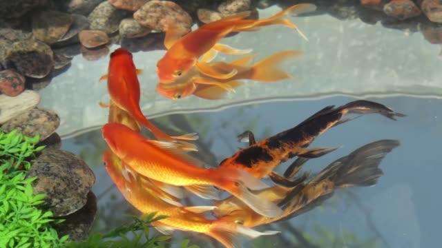 vídeos de stock, filmes e b-roll de lindos dourados peixes nadando no lago - estilo de vida dos abastados