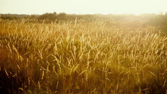 Beautiful golden prairie at sunset Golden sunlight over the grass - Nature beauty background prairie stock videos & royalty-free footage