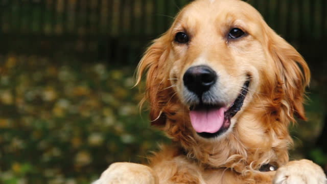 beautiful golden retriever in the nature - dog stock videos and b-roll footage