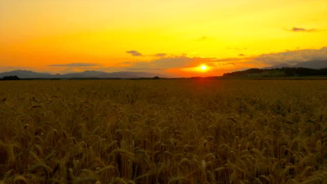 hava yakın: güzel altın buğday alan yaz gün batımında - çavdar stok videoları ve detay görüntü çekimi