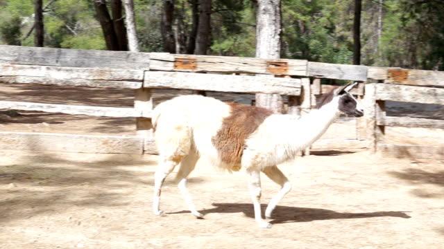 美しい優雅なラマの農場 - 動物園点の映像素材/bロール