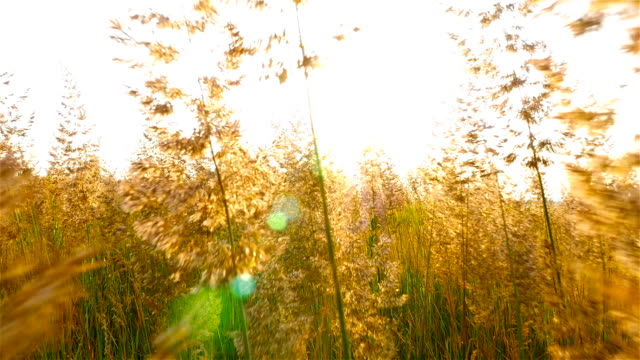 Beautiful grass in the field. Sun rays on the background. The camera moves through the grass video