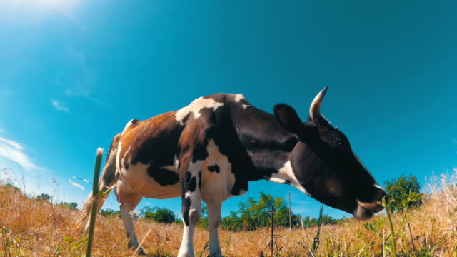 Beautiful Gray and White Cow Grazing on a Meadow on Blue Sky Background