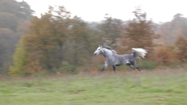 Beautiful gray wild horse running in the mountain during afternoon. Green Nature. Trot, galloping.