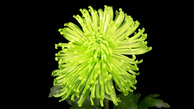 Beautiful Green Chrysanthemum Flower Opening video