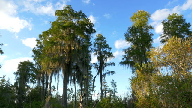 Beautiful green cypress swamp trees covered in spanish moss video