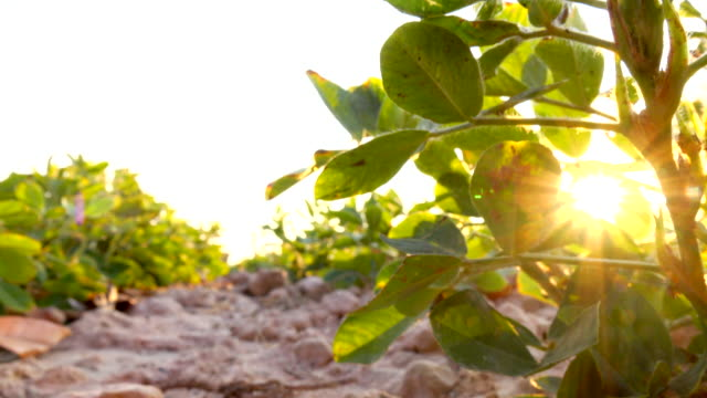 Beautiful Green field of Pinto Peanut video