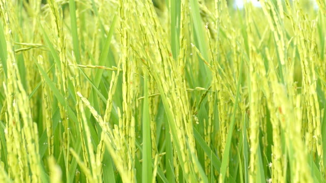 beautiful green field with rice stalks swaying in the wind video