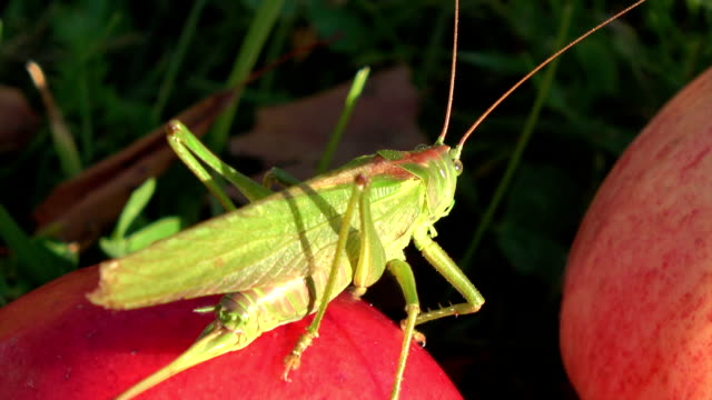 Beautiful green grasshopper Tettigonia viridissima on red apple in autumn video