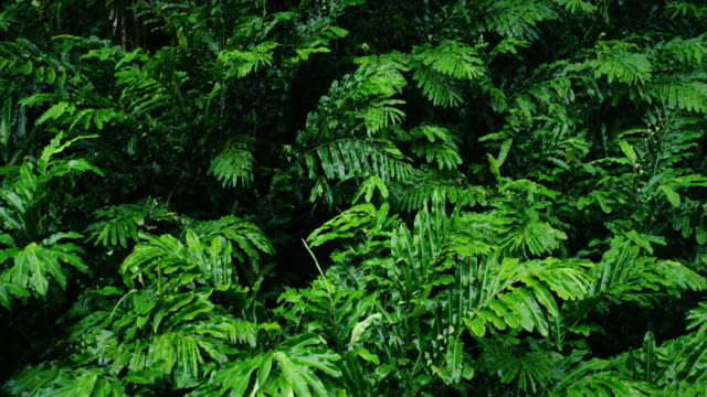Beautiful green leaves blowing in the wind in tropical jungle rain forest in Maui, Hawaii video