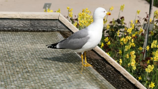 Beautiful Gull Standing In The Fountain video