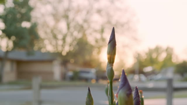 Beautiful Handheld Slow Motion Close-Up Reveal Shot of Purple Iris Flowers in a Home Front Yard Garden at Sunset