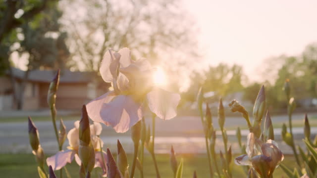 Beautiful Handheld Slow Motion Close-Up Shot of Purple Iris Flowers in a Home Front Yard Garden at Sunset