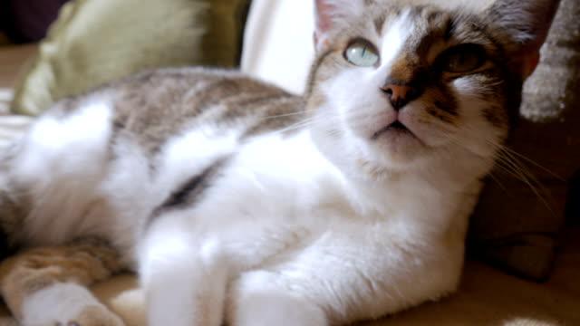 beautiful healthy pet cat lying down, purring and looking towards the camera - уход за поверхностью тела у животных стоковые видео и кадры b-roll