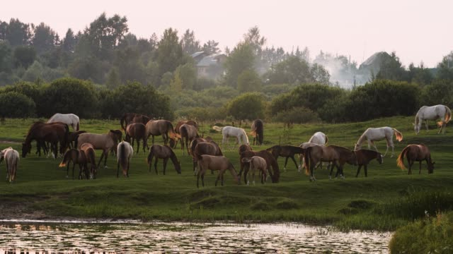Beautiful herd of horses grazing by the river at sunset. Slow motion