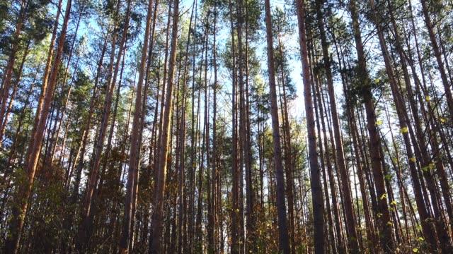 vídeos y material grabado en eventos de stock de pinos alta hermosa en un viento en el bosque. foto de grúa - pino conífera