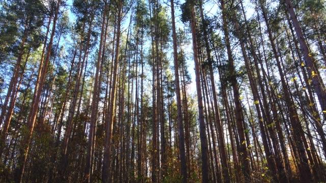 vídeos y material grabado en eventos de stock de pinos alta hermosa en un viento en el bosque - pino conífera