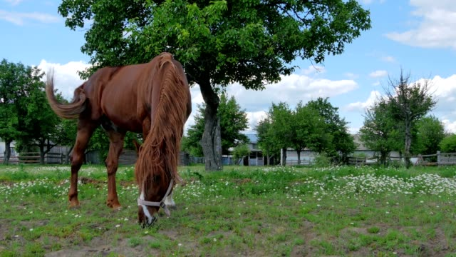 Beautiful horse grazing and walking on the meadow video