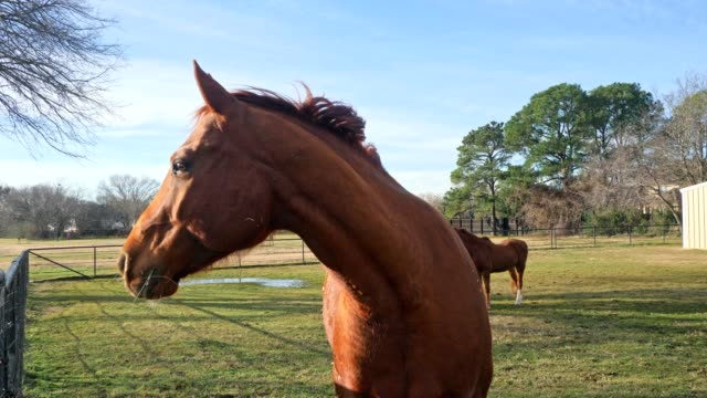 Beautiful horse in pasture Beautiful brown horse looks around in curiosity while grazing in a pasture. Other horses are in the background. pasture stock videos & royalty-free footage