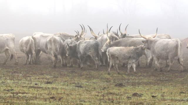 美しいハンガリー灰色ブルズは、霧の日 - 灰色点の映像素材/bロール