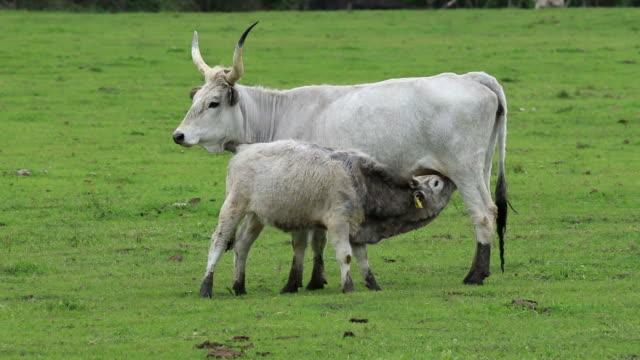 美しいハンガリー灰色牛のファミリー - 灰色点の映像素材/bロール
