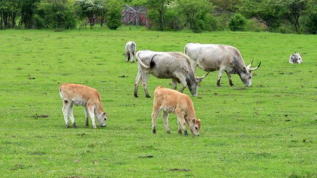 美しいハンガリーグレーフィールドでの牛 - 灰色点の映像素材/bロール