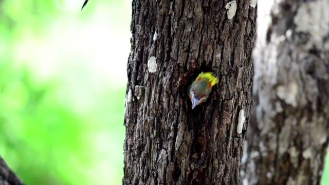 Beautiful hungry Juvenile bird,Lesser Yellownape woodpecker( Picus Chlorolophus ) video
