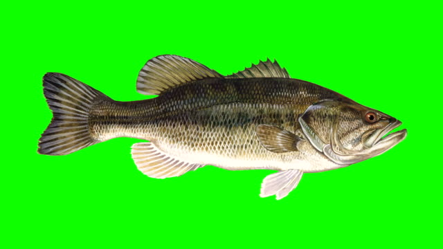 Beautiful Illustration of Bass Fish Swiming on a Green Screen Background Beautiful Illustration of Bass Fish Swiming on a Green Screen Background fish stock videos & royalty-free footage