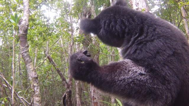 vacker bild av indri lemur (indri indri) sitter på träd i madagaskar - madagaskar bildbanksvideor och videomaterial från bakom kulisserna