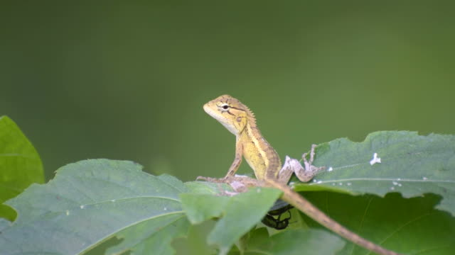 Beautiful Indian gecko on a bush looking out Beautiful Indian gecko on a bush looking out ,  green foliage background, morning light , Kolkata, India - nature stock footage gecko stock videos & royalty-free footage