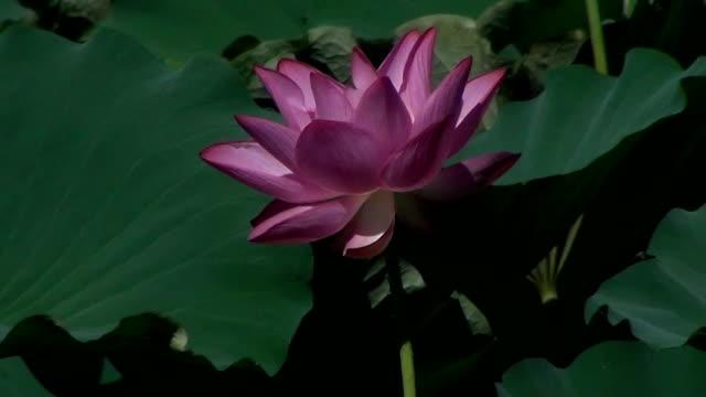 Beautiful Indian lotus (Nelumbo nucifera) blowing in the wind.