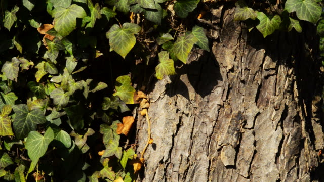 Beautiful ivy on an old large beech tree