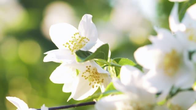 schöne weiße jasminblüten im sommer tag fokus ziehen - jasmin stock-videos und b-roll-filmmaterial