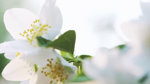 schöne weiße jasminblüten im sommer tag pfanne - jasmin stock-videos und b-roll-filmmaterial