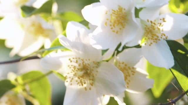 schöne weiße jasminblüten im sommer sonnenuntergang - jasmin stock-videos und b-roll-filmmaterial