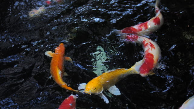 ฺBeautiful koi fish in water