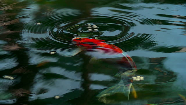 beautiful koi fish swimming in the pond. - пруд стоковые видео и кадры b-roll