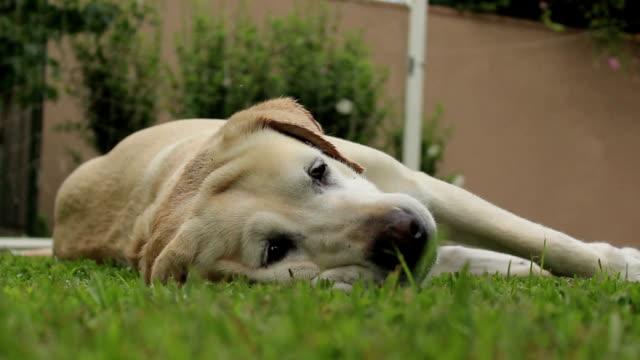 bellissimo labrador è solitaria - ear talking video stock e b–roll