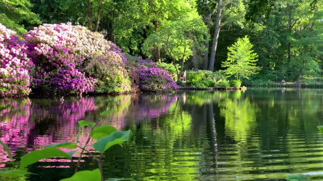 Beautiful lake shore with rhododendrons and swimming ducks