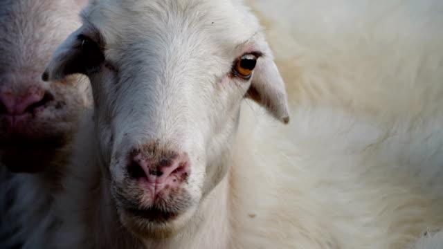 beautiful lamb looking at the camera