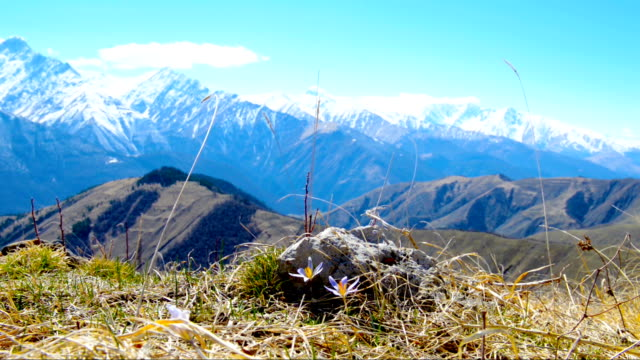 beautiful landscape of spring mountains with blue flowers crocus, Russia, Republic Ingushetia video