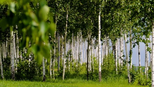 Beautiful landscape. Russian forest. White birch trunks. video