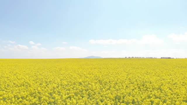 beautiful landscape with canola field under the blue sky (aerial) - colza video stock e b–roll