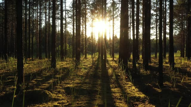 Beautiful landscape with Sunrise Sun at the Sunny Coniferous Forest. Sunlight Sunbeams Through Woods In the woodland ,camera slow motion in the pine forest
