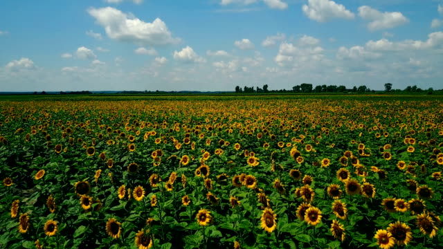 Beautiful landscapes and organic agriculture with sunflowers Agriculture area in Central Europe pasture stock videos & royalty-free footage