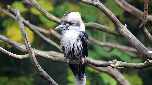 Beautiful Laughing Kookaburra Perched on Branch video