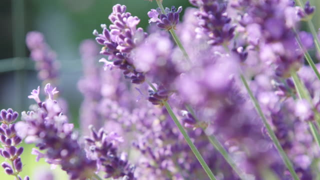 vídeos de stock e filmes b-roll de dof beautiful lavender branches slowly swaying in light summer breeze sunny day - violeta flor