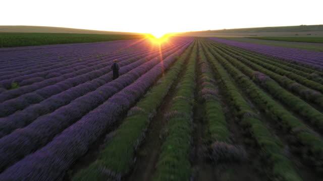 Beautiful Lavender Field Footage