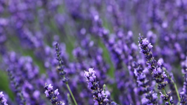beautiful lavender fields in Provence fields of blooming lavender flowers in Provence, France herb stock videos & royalty-free footage